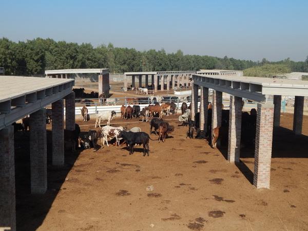 Oasis Farms – Pakistan's largest Beef Feedlot